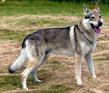 ARIMMINUM TIMBER WOLF
